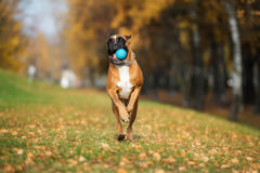 Red boxer dog playing outdoors in autumn Royalty Free Stock Photo