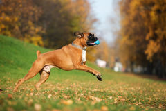 Red boxer dog running outdoors in autumn. German boxer breed dog outdoors in autumn stock image
