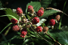Red brambles on bush ripening in summer sun. Royalty Free Stock Images