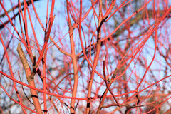 Red Branches in Autumn Stock Photo