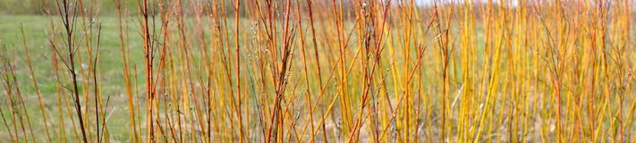 Red branches bush stock images