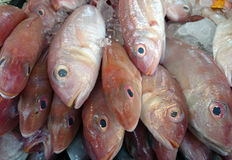 Red Bream fish on ice Royalty Free Stock Photo