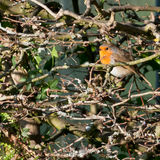 Red Breast Hideaway Royalty Free Stock Image