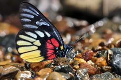 Red-breast jezebe butterfly. Of thailand background Stock Images