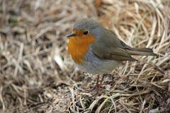 Red breast robin bird Stock Photos