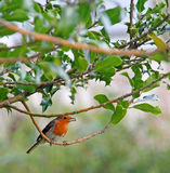 Red breast robin with bread. Photo of a british red breasted robin perched on tree branch with a piece of bread in its beak Royalty Free Stock Images