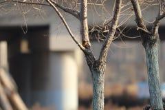Red-breasted五子雀在Bai钳子中国附近的一寒冷 免版税库存照片
