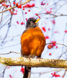 Red Breasted American Robin with Red Berries. American Robin Turdus migratorius is migratory songbird thrush family. Most common bird in the United States Stock Photos