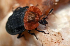 Red-breasted Carrion Beetle Oiceoptoma thoracicum Stock Photography