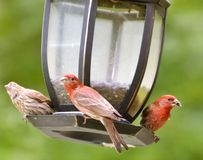 Red breasted finches Stock Images