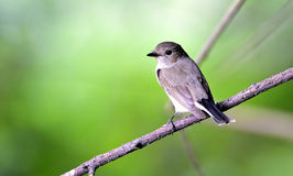 Red-breasted flycatcher (female) Stock Photography