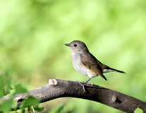 Red-breasted flycatcher (female) Stock Photos