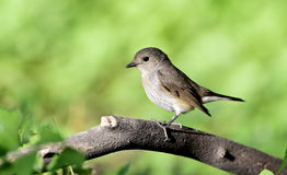 Red-breasted flycatcher (female) Stock Images