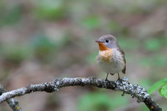 Red-breasted flycatcher. Ficedula parva. Royalty Free Stock Photography