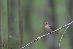 Red-breasted flycatcher. Ficedula parva. Stock Image