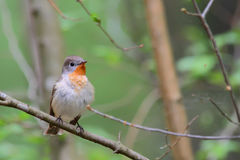 Red-breasted flycatcher. Ficedula parva. Stock Images