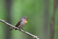 Red-breasted flycatcher. Ficedula parva. Royalty Free Stock Photos