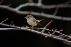 Red-breasted Flycatcher Royalty Free Stock Images