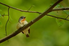 Red-breasted Flycatcher - Ficedula parva. Sitting and singigng on the branch in the green forest Stock Photos