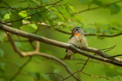 Red-breasted Flycatcher - Ficedula parva Royalty Free Stock Photos