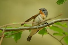 Red-breasted Flycatcher - Ficedula parva Royalty Free Stock Images