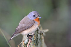 Red-breasted flycatcher. The red-breasted flycatcher is a small passerine bird in the Old World flycatcher family. It breeds in eastern Europe and across central Royalty Free Stock Photo