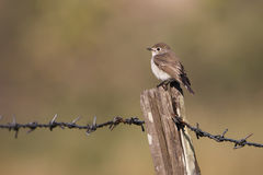 red-breasted flycatcher standing on a wooden pole Stock Photography