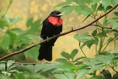 Red-breasted fruitcrow. Sitting on the branch Stock Image