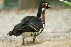 Red Breasted Goose Royalty Free Stock Photo