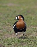 Red-breasted Goose. Branta ruficollis Stock Photos