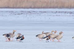 Red Breasted, Greylag and White-fronted Geese in Winter Royalty Free Stock Photography