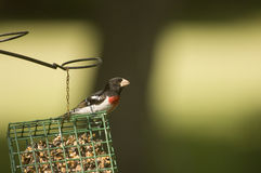 Red breasted grosbeak on suet feeder Royalty Free Stock Photos