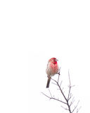 Red-Breasted House Finch Stock Photography
