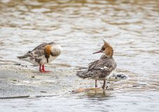 Red Breasted Merganser Royalty Free Stock Photography
