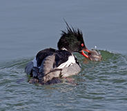 Red-breasted Merganser Royalty Free Stock Image