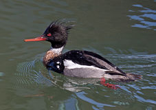 Red-breasted Merganser Stock Photos