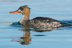 Red-breasted Merganser Royalty Free Stock Photography