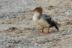 Red-breasted Merganser Royalty Free Stock Photos