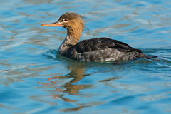 Red-breasted Merganser Royalty Free Stock Photo