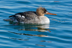 Red-breasted Merganser Stock Photo