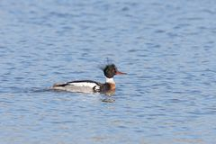 Red-breasted Merganser Floats on a Lake. A red-breasted merganser glides across a blue lake. The merganser`s shaggy green crest feathers are upward, deep red stock image