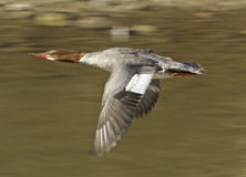 Red-breasted merganser is flying Stock Images