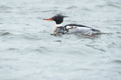 Red-breasted Merganser Stock Images