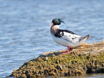 Red-breasted Merganser Stock Photography