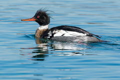 Red-breasted Merganser Stock Image