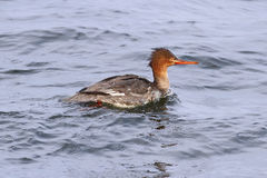 Red-breasted Merganser Royalty Free Stock Images