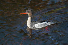 Red-breasted merganser, Mergus serrator Stock Photo