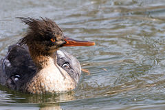 Red Breasted Merganser Royalty Free Stock Images