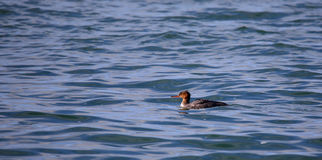 Red-breasted merganser swimming in blue water Stock Images
