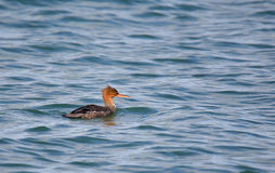 Red-breasted merganser swimming in blue water Stock Image